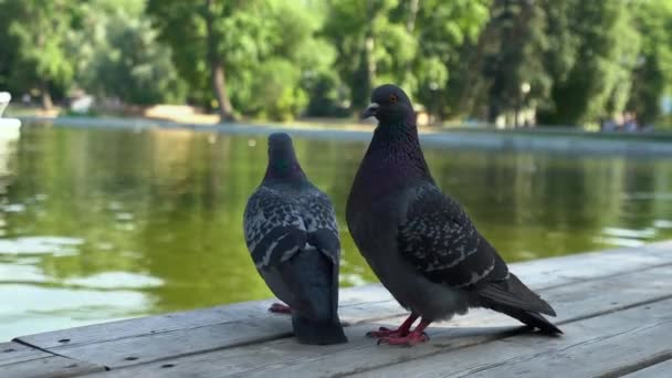 Two blue doves sitting on a wooden pier near the city pond, close-up