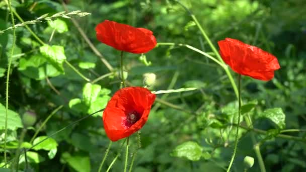 Květinka z červeného máku s včelí