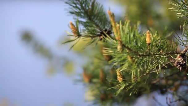 Karácsonyfa, fenyőfa ág, közelről tűlevelű kúp fúj a szél. A fiatal lucfenyő ágak közeli közelről