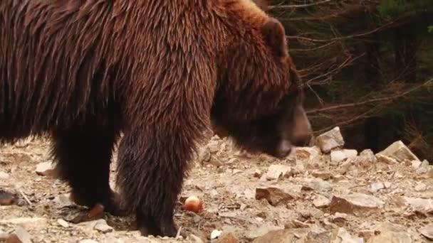 Barna medvék játszani a tartalék