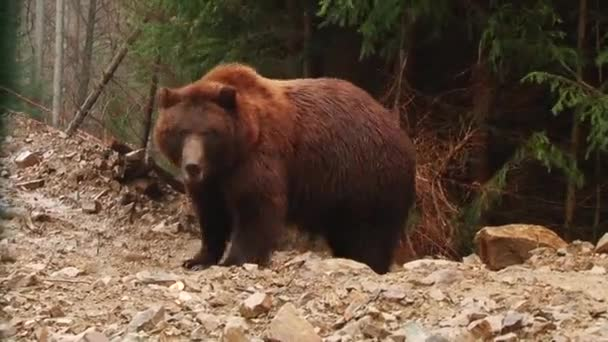 Brown Bears play in the reserve