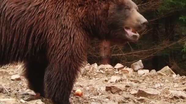 Medvědi hnědí hrají v rezervaci