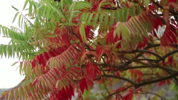 Piros őszi levelek erdő. Zápor, és nedves levelek. Rair őszi időben. Lassú mozgás, az esőcseppek a színes juhar fa levelek
