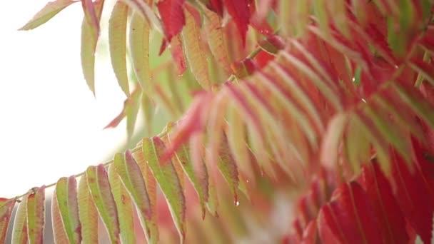 Červené podzimní listí v lese. Liják a mokré listy. Rair v podzimním čase. Zpomalený pohyb kapky dopadající na barevné javor listy