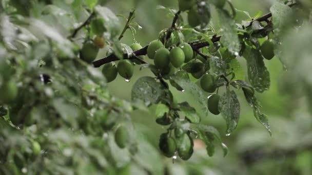Pulmové stromy v zahradě, když je deštivo. Plody stromu jsou stále zelené. Plody nejsou dosaženy