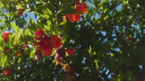 Beautiful vibrant orange pomegranate flowers in garden. Close-ip of exotic red flowers on background of fresh green leaves and blue sky. Natural blooming concept