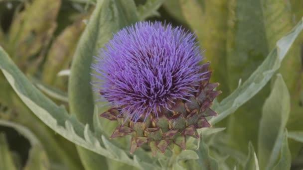 Hedgehog kaktusz sok kék vagy lila virággal tavasszal Spanyolországban