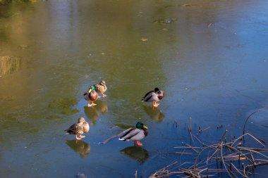 Bright spring park Poniatowski in Poland in the city of Lodz, spring park, frozen lake and ducks