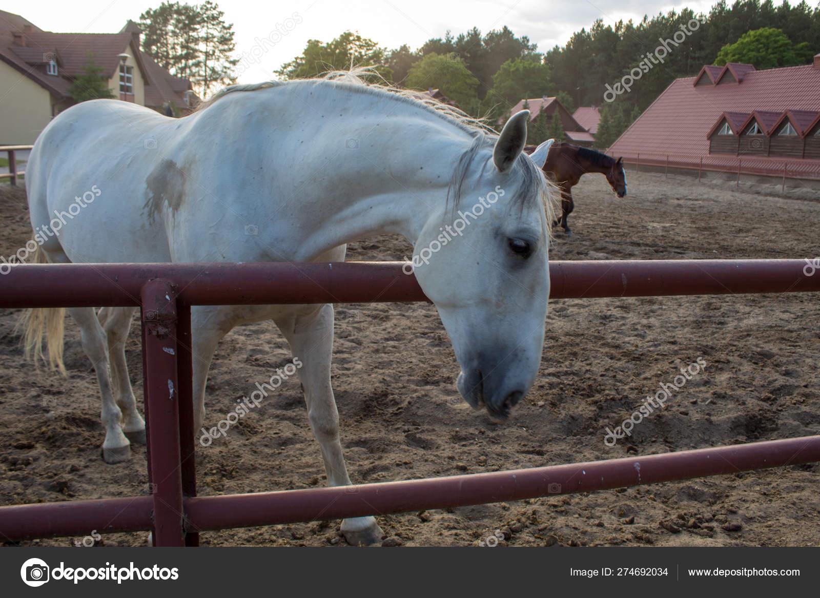 Grazing Beautiful White Horse Farm Rays Setting Summer Sun Stock Photo C Olenaholianskaphoto 274692034