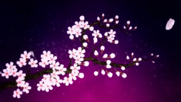 Třešeň v plném květu. Třešňová větev. Sakura má růžové květy. Třešňové květy fialové pozadí.