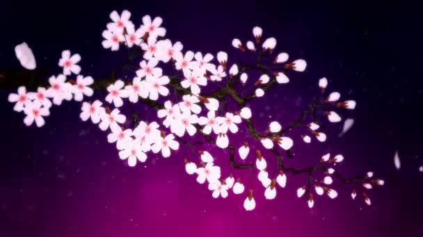 Cseresznyefa virágzik. Cseresznyeág. Sakura virágok rózsaszínűek. Cseresznyevirág lila háttér.