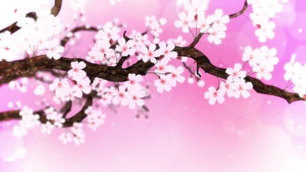 Třešeň v plném květu. Třešňová větev. Sakura má růžové květy. Třešňové květy růžové pozadí. Animace smyčky Cg.