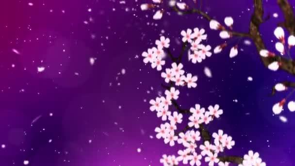 Třešeň v plném květu. Třešňová větev. Sakura má růžové květy. Třešňové květy fialové pozadí. Animace smyčky Cg.