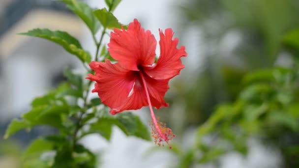 červené květy a zelené ibišek květ tropické rostliny