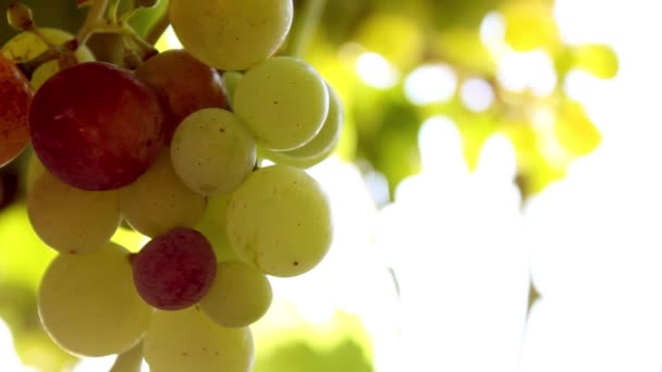 close-up footage of ripening grapes hanging on tree branch
