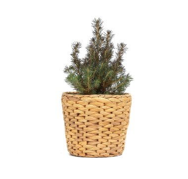 Green spruce tree on a white background. tree in a zinc bucket as decoration of the store entrance