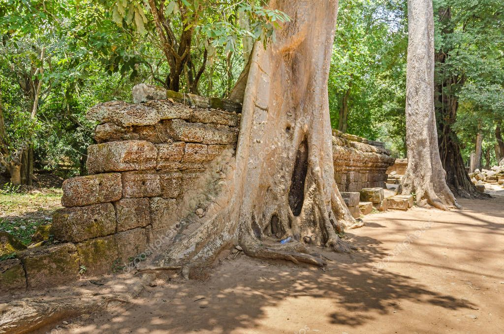 Roots of a spung, the famous tree Tetrameles nudiflora, growing in the Ta Prohm temple ruins in Cambodia and destroying its walls