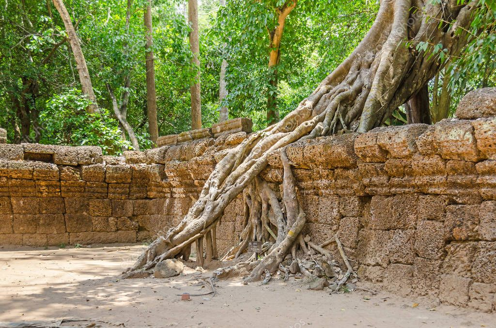 Roots of a strangler fig, the famous tree Ficus gibbosa, growing in the Ta Prohm temple ruins in Cambodia and destroying its walls