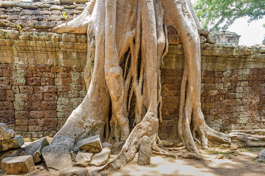 Roots of a spung destroying the walls of the Ta Prohm temple in Angkor Wat