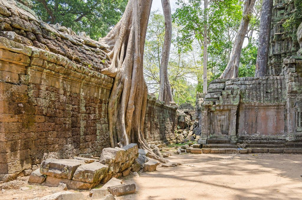 Roots of a spung, the famous tree Tetrameles nudiflora, growing in Ta Prohm temple ruins in Cambodia and destroying its walls