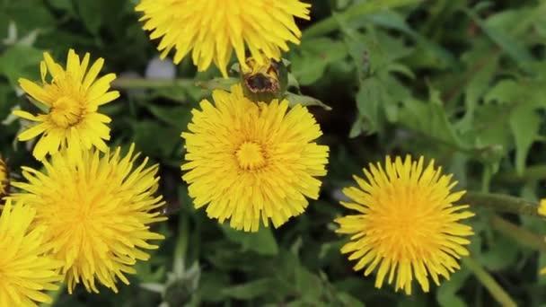Pampelišky. Čas květu. Zelená tráva. Jarní květiny v zahradě.