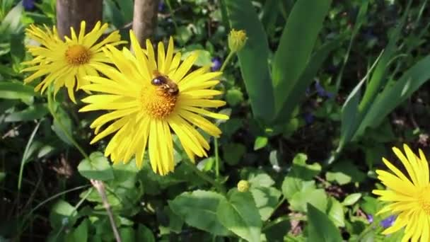 Bee on the flower. Pollination flowers. Dandelions. Blossom time. Spring wind. Green grass. Spring flowers in the Garden.
