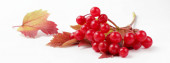 Ripe juicy berries of viburnum on a white background, excellent preparation for design, bright natural colors of berries and autumn leaves.