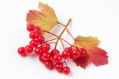 Ripe juicy berries of medicinal viburnum on a white background with autumn tree leaves. Natural vibrant colors, high contrast.