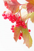 Branch of leaves and berries of juicy ripe viburnum on a white background, natural colors, high contrast.