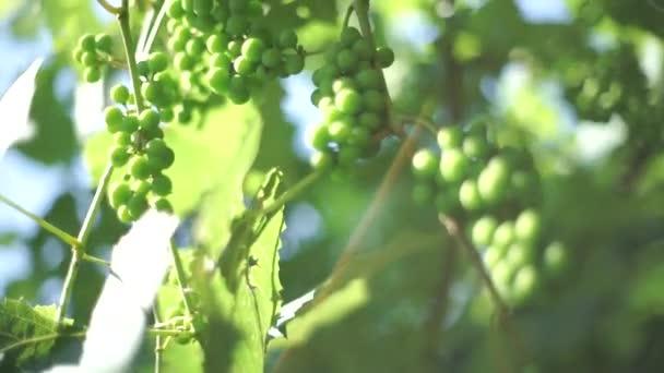 Videó a zöld szőlő
