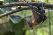 Fotografie Malaiischer Fledermaus an einem Ast hängen