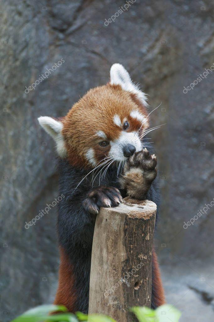 Portrait of Red Panda, Firefox or Lesser Panda (Ailurus fulgens)