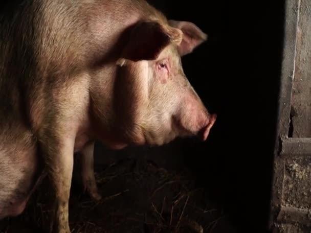 Schwein auf einer Nashornfarm. Schweinegesicht aus nächster Nähe.