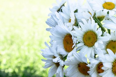 Fresh daisy flowers on green grass background. With copy space for text.