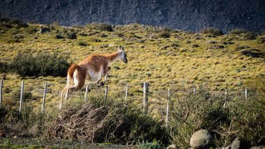 Guanaco jumping a fence in Torres del Paine National Park, south Patagonia in Chile