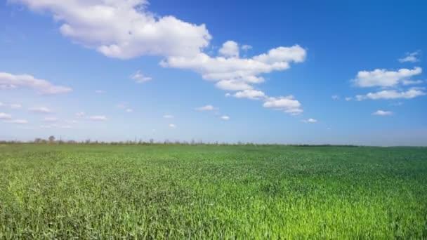 green wheat field / agriculture Ukraine