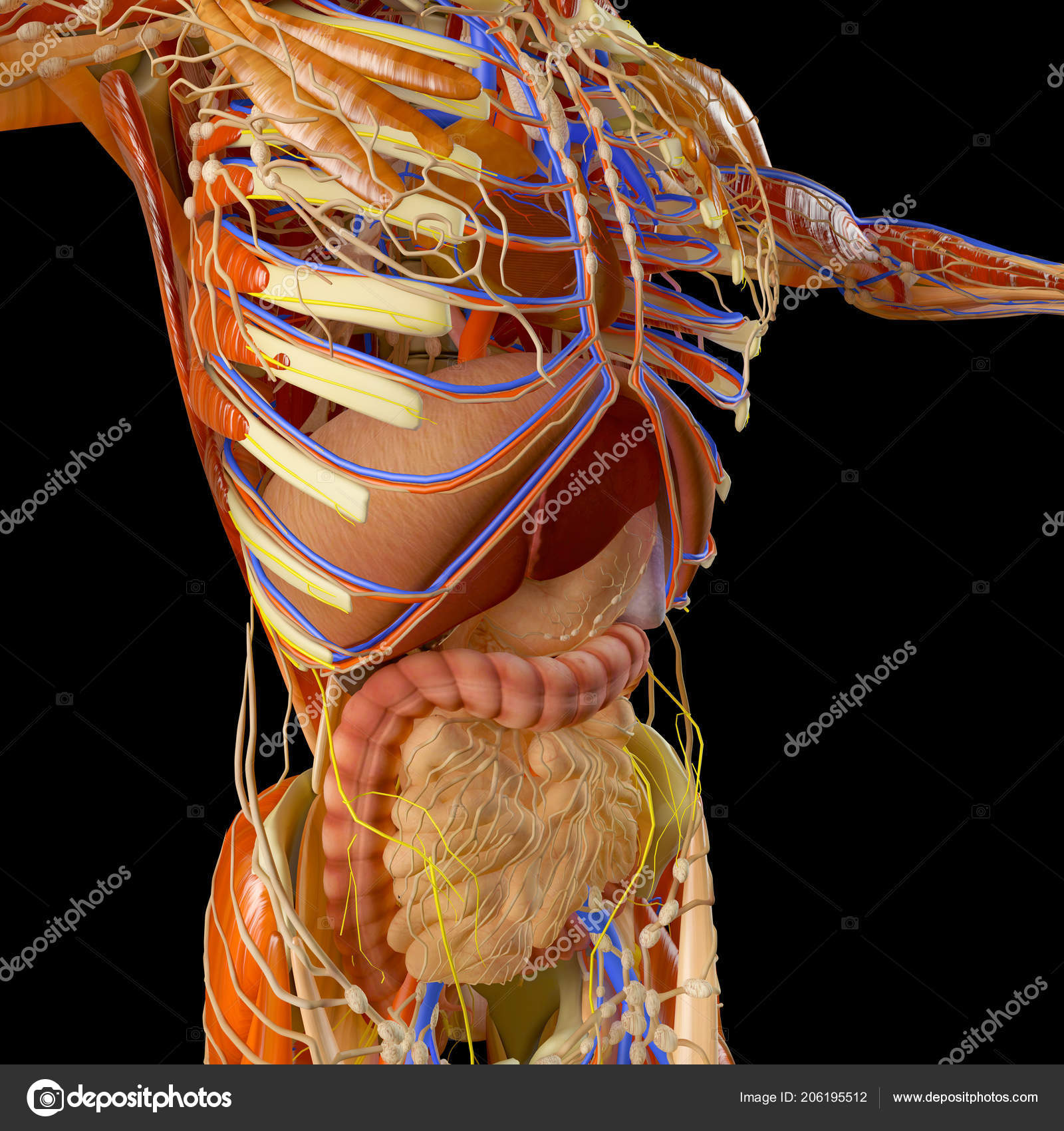Human Body Muscular System Person Digestive System Anatomy Internal