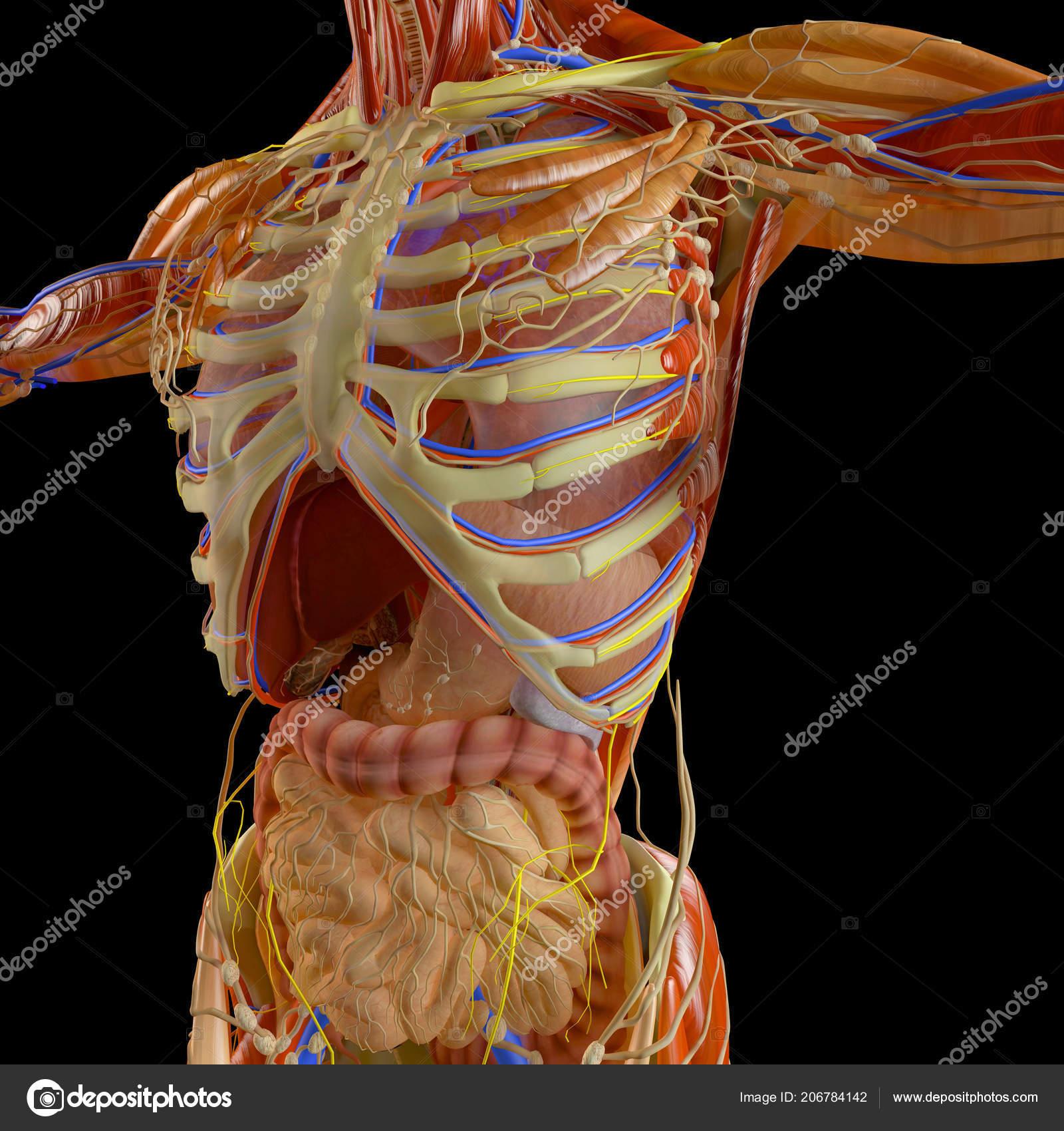 Human Body Man Digestive System Anatomy Intestine Enlargement
