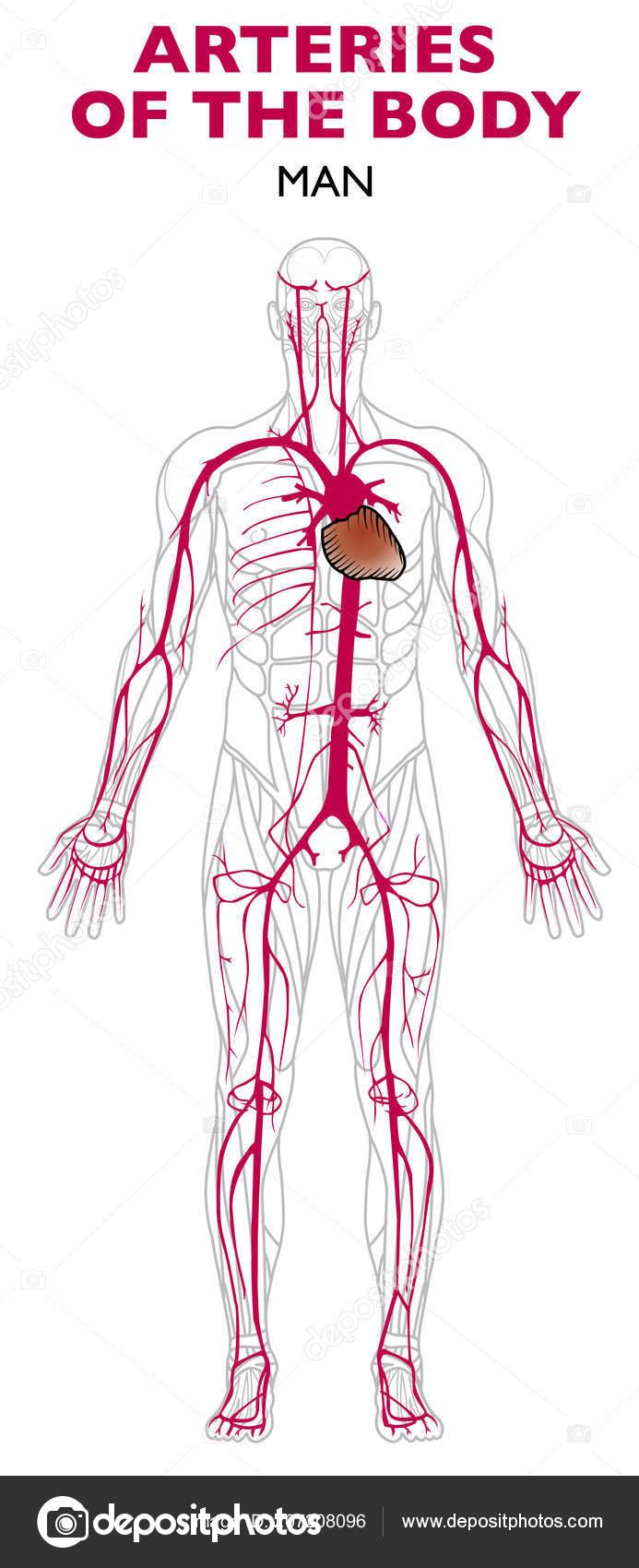 Arteries Human Body Anatomy Artery Blood Vessel Takes Blood Away