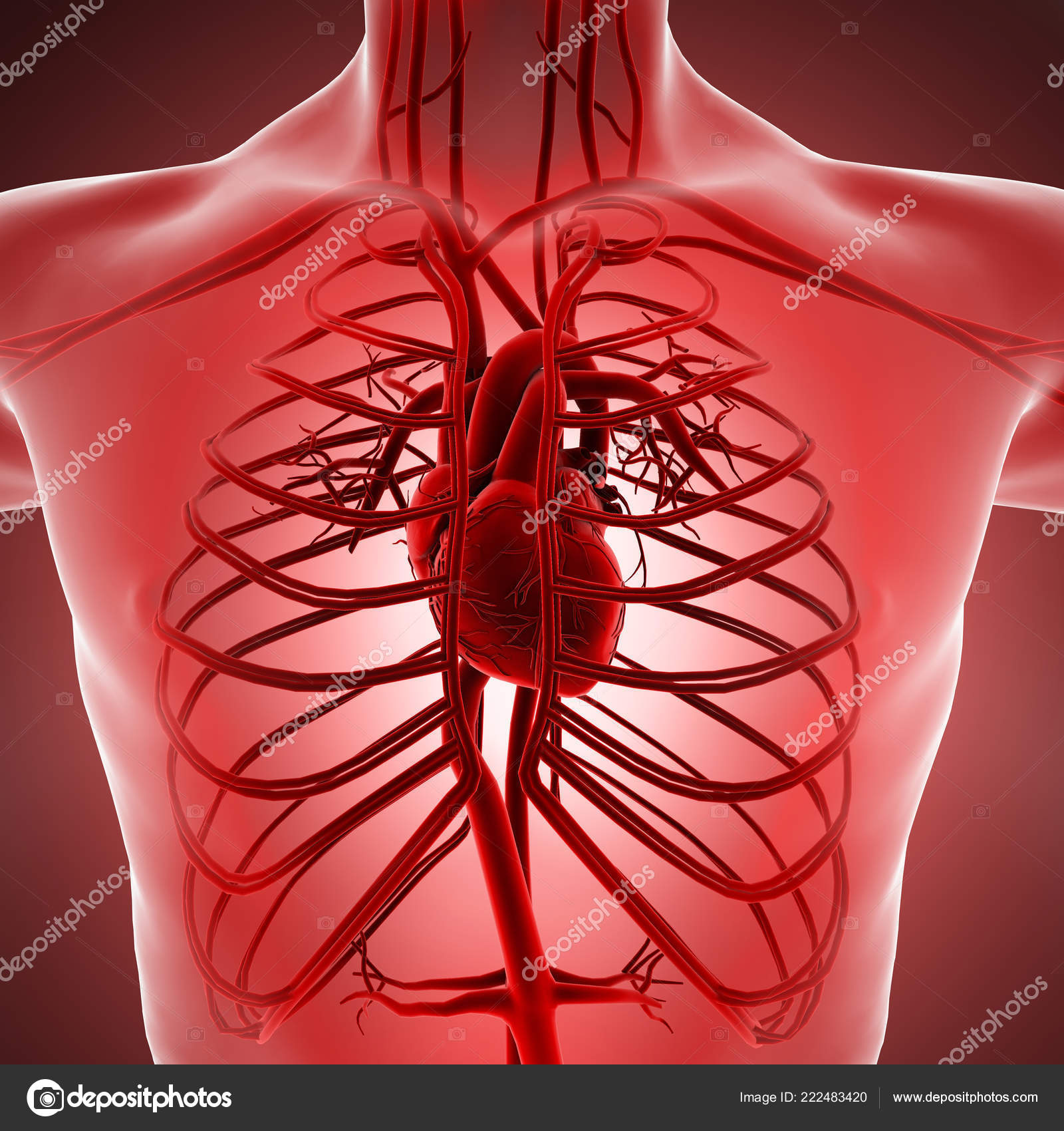 Pictures : Arteries And Veins Of The Body