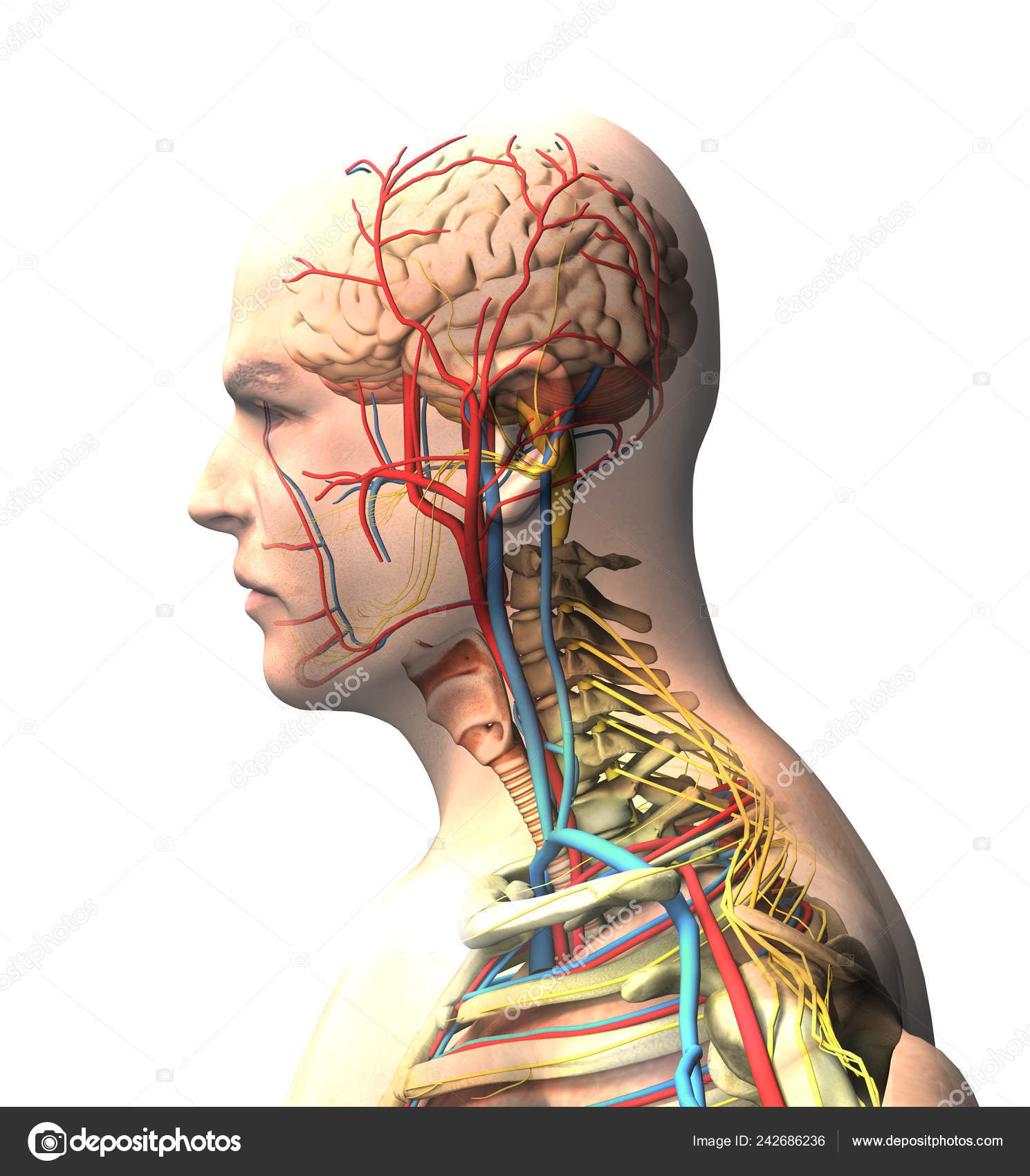 Man Seen Side Brain Face Ray View Arteries Veins Spine Stock Photo