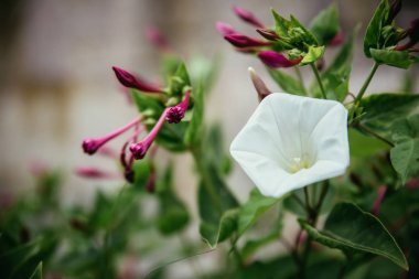 Beautiful white flower in the backyard, bokeh background and eve