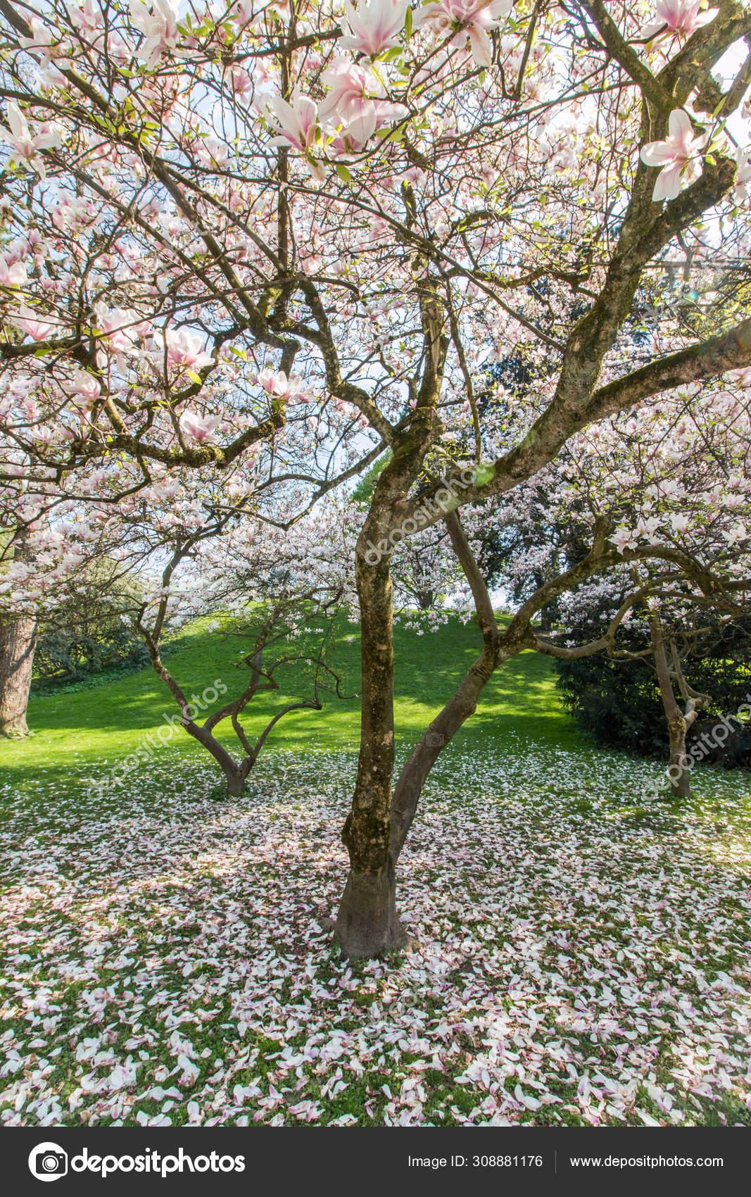 Arvore Magnolia Florescente Primavera Flores Bonitas Rosa Stock Photo C Patrick Daxenbichler 308881176