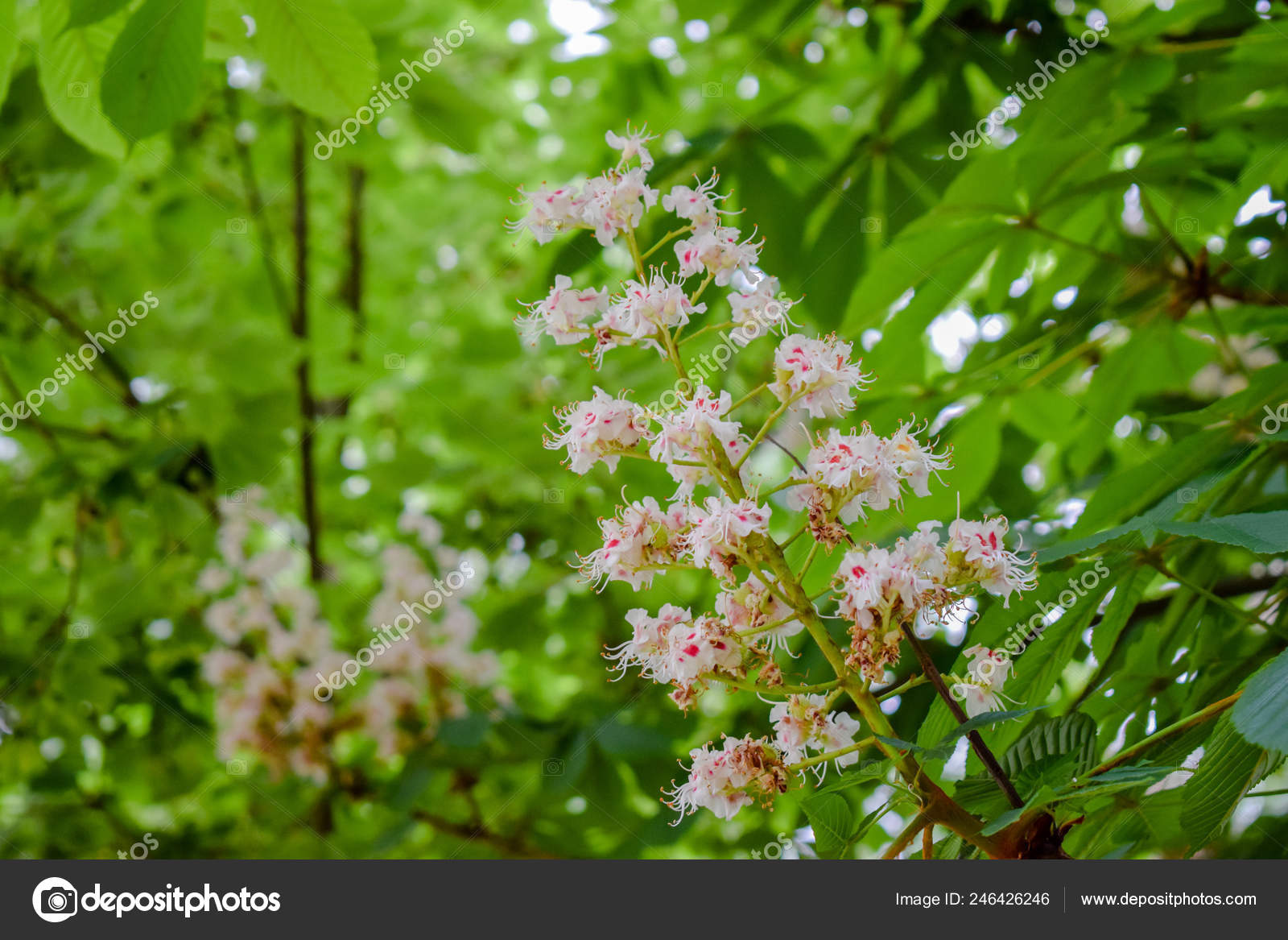 Chestnut Flowers Spring Colored Its Green Leaves Stock Photo C Olfpicture 246426246