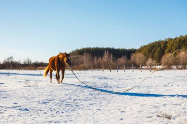 Red Foal in a sunny winter field trots
