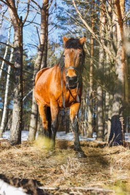 Red horse in the spring forest stands on the sunny edge