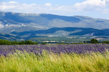 landscapes of lavender in Provence