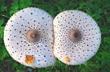 Mushrooms-umbrellas - in some parts are considered delicacies, and somewhere they avoid taking