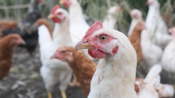 Chicken at farm in countryside. Outdoor. Close up.