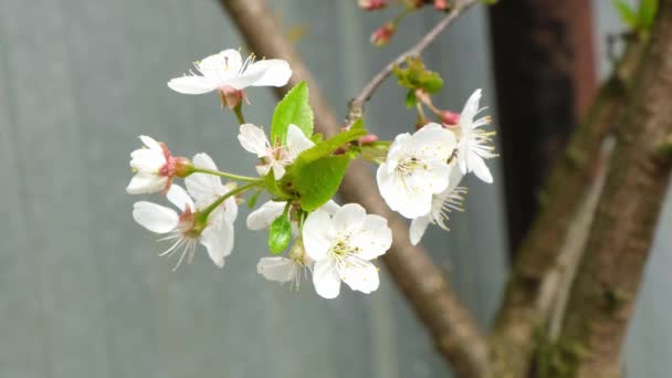 White cherry blossom blooming in a garden. Trees in spring